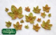 Katy Sue Mould: Maple Leaves